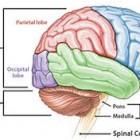 Pengertian dan Fungsi Otak