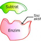 Pengertian dan Fungsi Enzim