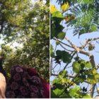 Pohon Jati Berbuah Pisang di Karanganyar Ini Bikin Heboh, Begini Ceritanyaa